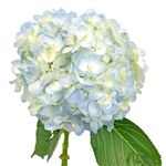 Bulk Hydrangea Ivory with Blue Flower