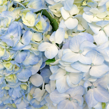 Soft Blue Flowers Wholesale Bulk Flowers Fiftyflowers