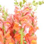 Orange Snapdragon Fresh Cut Flower