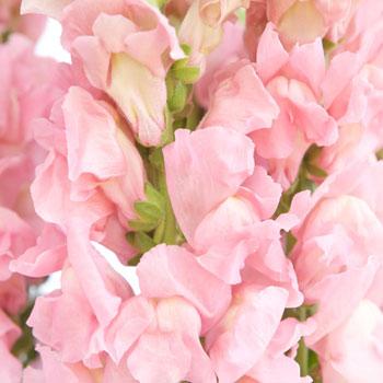 Snapdragon Light Pink Flower