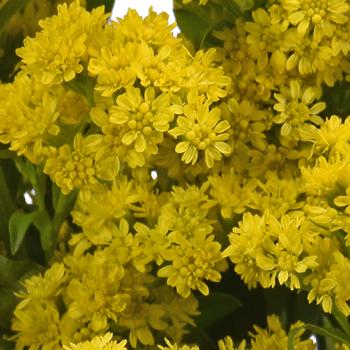 Solidago Flowers Yellow