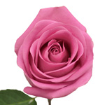 Bicolor Rose Latin Ambiance