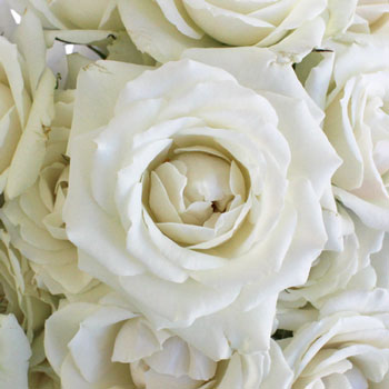Creamy White Spray Bulk Roses