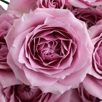 Pinky Lavender Spray Roses