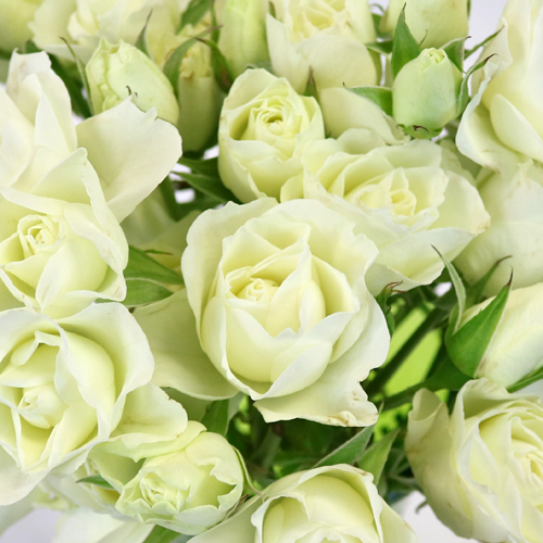 White Spray Bulk Roses