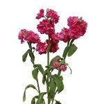 Stock Flower Hot Pink