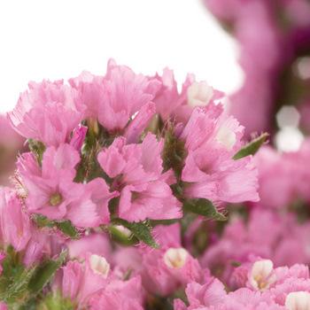 Tissue Culture Statice Medium Pink Flower
