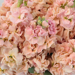 Stock Pinky Peach Flower