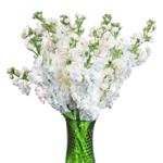 White_Stock_Flower