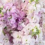 Stock Pinky Lavender Flower