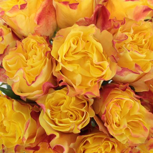 Tropical Dip Garden Rose