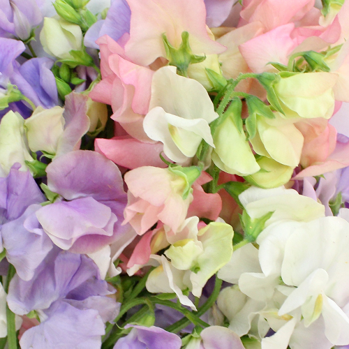 Sweet Pea Mix for Arranging