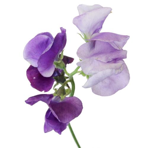 Purple Sweet Pea Flower