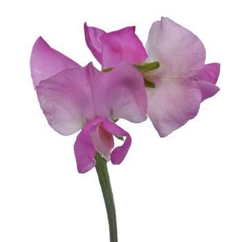 Sweet Peas Dark Pink Flower