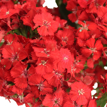 Sweet William Red Flowers