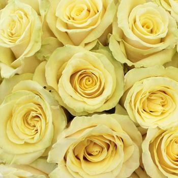 Whipped Butter Takini Cream Rose