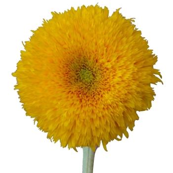Teddy Bear Bulk Sunflowers