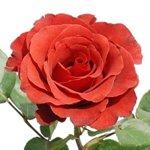 Novelty Rose Terracotta