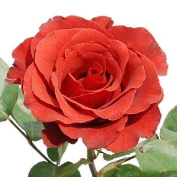 Terracotta Novelty Rose