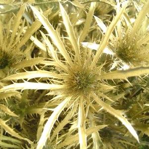 Thistle Golden Flower