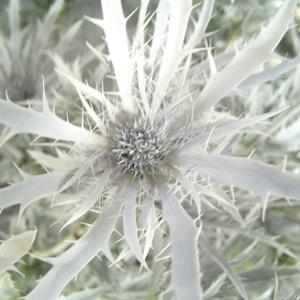 Thistle Snow White Flower
