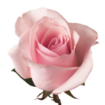 Light Pink Rose Titanic