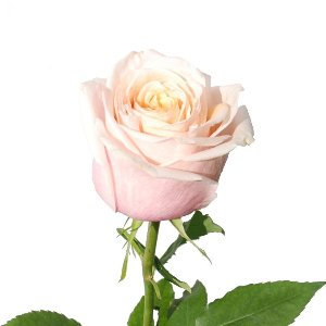 Toscanini Cream with Light Pink Rose