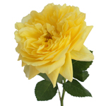 Garden Rose Toulousse Lautrec Yellow Flower