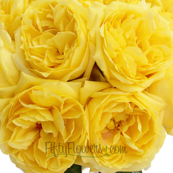 Garden Rose Yellow Toulousse Lautrec