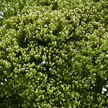 Trachelium Green Flower