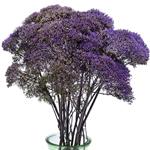 Trachellium_Fresh_Cut_Purple_Flower