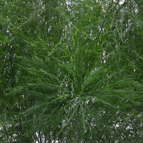 Tree Fern Filler Greenery