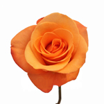 Orange Rose Tropical Amazone