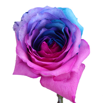 Turquoise, Pink and Purple Rainbow Roses