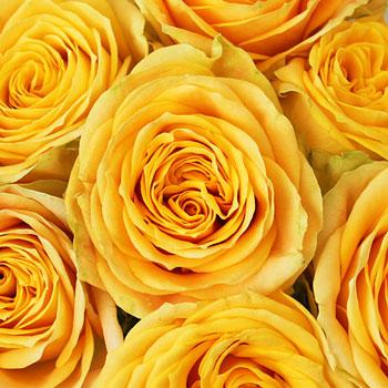 Aztec Gold Garden Rose