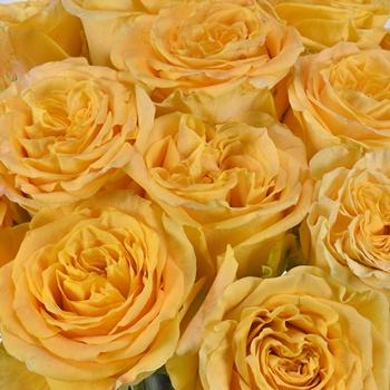 Sienna Sheen Garden Rose