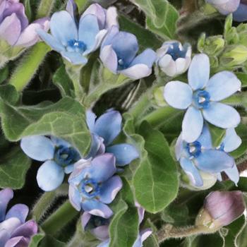 Soft Blue Designer Tweedia Flower