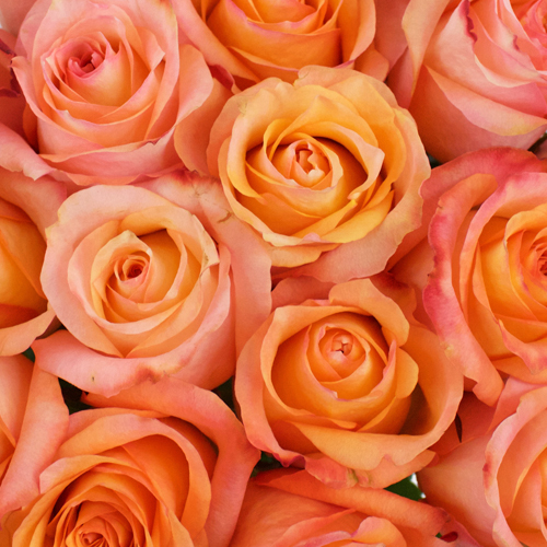 Twilight Light Orange Rose
