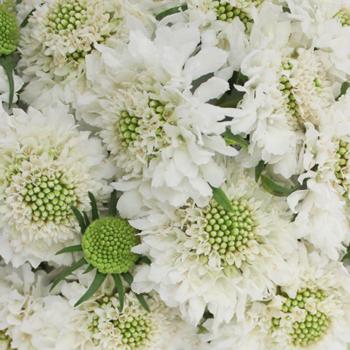 White Scabiosa Flower
