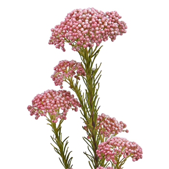 Hues Of Mini Pink Rice Flower Mar to Apr Delivery