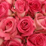 Bulk Rose White and Pink Verdi