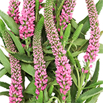 Veronica Pink Wholesale Flower