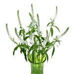 Veronica White Bulk Flower