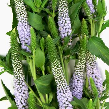 Veronica Flower Periwinkle Lavender