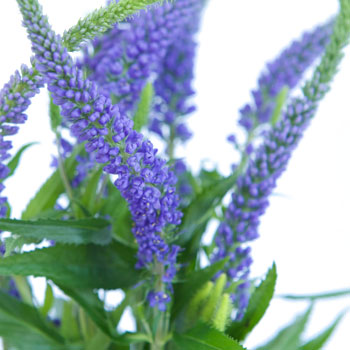 Veronica Flower Purple with Blue Hues
