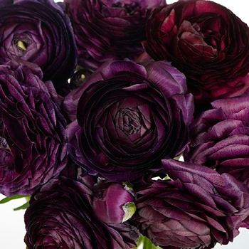 Burgundy Wine Ranunculus Fresh Cut Flower