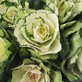 Ivory Garden Wedding Kale