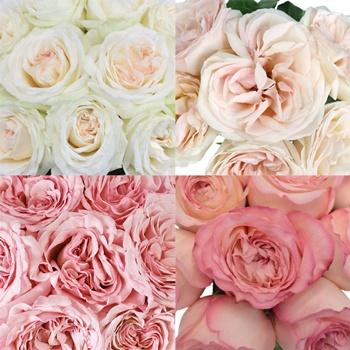 Whimsical Garden Rose Sample Pack