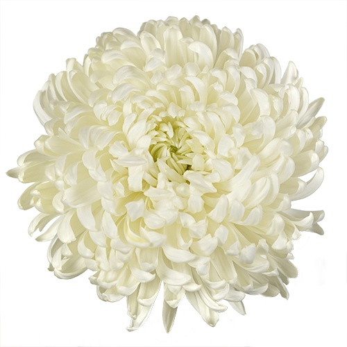 White Football Mum Flower
