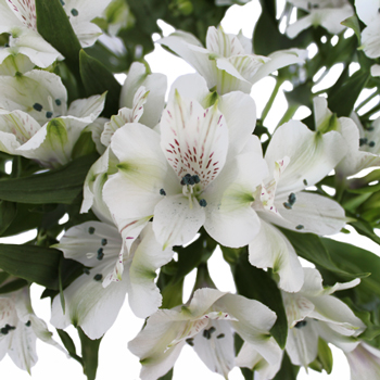 White Alstroemeria Fresh Flower
